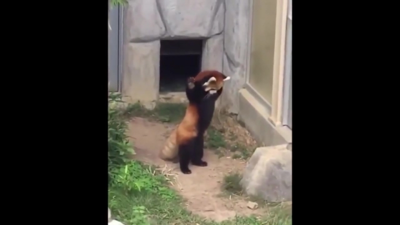 Прикол Красная панда увидела камень А кто это сделал О о
