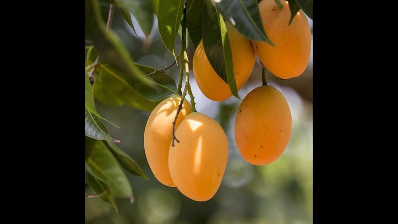 Как посадить манго дома.