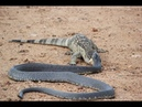 Amazing King Cobra Attack Of Animals : Lizard , Mongoose ,Bird , Cat ↓ SKill Kung Fu Animals