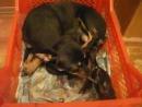 В гостях успела заснять тойку со щенками