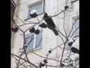 Чёрный дрозд, птенец