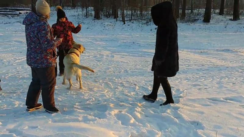 вот такой новый житель на конюшне))лабрадор Хан))дурной до ужаса))
