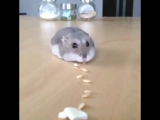 Hamster demolishes a trail of food in the cutest way possible
