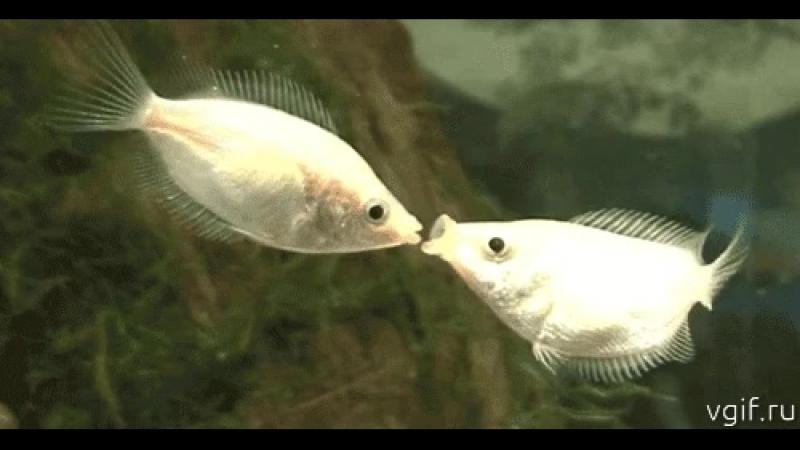 рыбки целуются.mp4