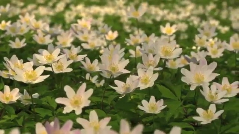 FLOWERS CAN DANCE Amazing nature- Beautiful blooming flower time lapse video.mp4