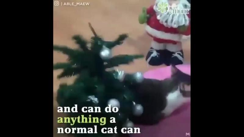 Котик Эйбл без передних лап.