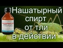 ‼️Нашатырный спирт от тли в действии‼️