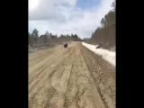 В Якутии медвежонок попытался напугать водителя.