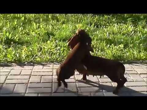 Доченька впервые гуляет с мамой щенок таксы из Страны Грёз