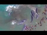 Спецоперация по спасению китов в Индонезии