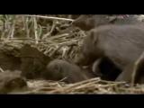 Мир животных. Африка. Дикая природа. Мангусты. Документальный фильм