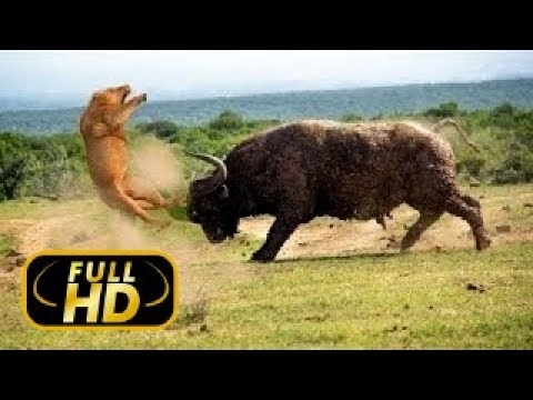Лев против буйвола Кровная вражда FULL HD Документальный фильм 2018 на Amazing Animals TV