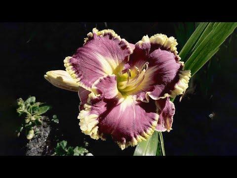 Лилейники в наших цветниках