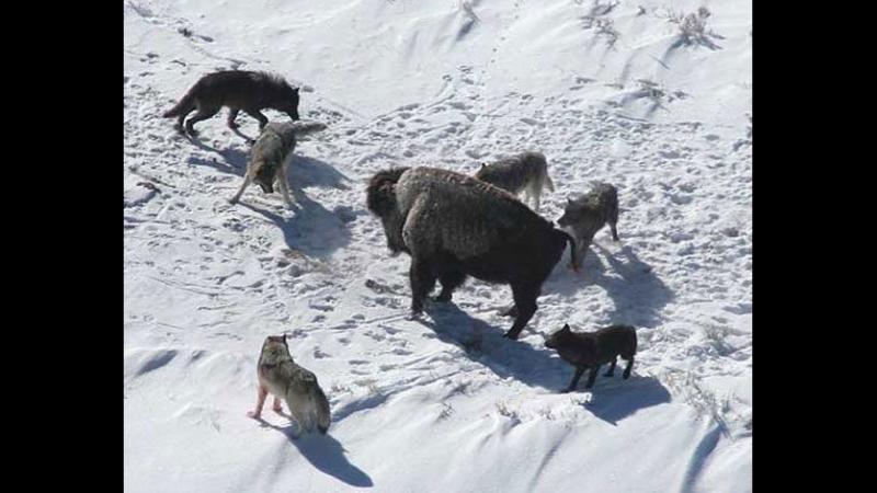 Охота Волков на Бизонов