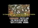 Science Vie Cet apiculteur français fait du miel de cannabis
