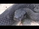 Встреча с черной гадюкой (гадюка Никольского) в лесу (видео HD качества)