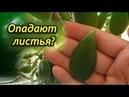 Почему опадают листья у денежного дерева? Что делать, как спасти толстянку?