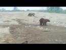 Медведи в Норильске