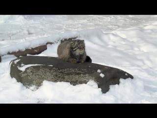 Манул в Московском зоопарке в легком шоке от выпавшего снега