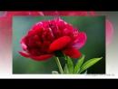 Самая красивая музыка для Души и пионы Саксофон Трубач Peony flowers Podryga
