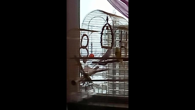 Попугайчики целуются