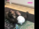 Щимпанзе и щенок