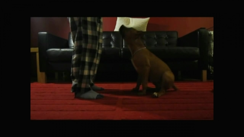 Obedience Training with American Staffordshire Terrier Amstaff Puppy, 16 недель