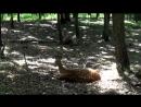 Тигр Амур и Козел Тимур! Приморский Сафари Парк