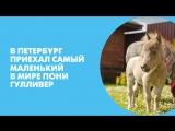 В Петербург приехал самый маленький в мире пони Гулливер