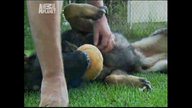 Фильм Полицейские собаки К 9 Animal Planet Часть 2