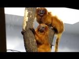 Львиные золотистые тамарины с малышом в новосибирском зоопарке