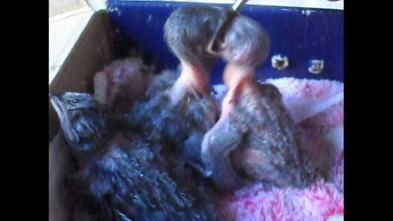 стрижата младенцы из разорённого хомосапиенсом гнезда оставшиеся без родителей