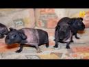 Морские свинки скинни, вопросы ветеринару.