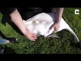 Поймали лебедя, чтобы освободить его от рыболовного крючка и лески