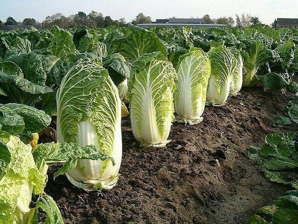 Выращивание пекинской капусты считается доступным каждому огороднику, будь то «зеленый» новичок или бывалый садовод со стажем.