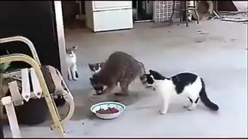 Коты и енот - воришка_.coOcPhODAK31