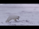 Young Fox Hunting In The Snow - Life Story - BBC