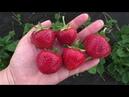Хепил поздний сорт клубники с очень сладкой и ароматной ягодой
