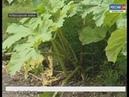 Чувашию заполоняет опасный сорняк борщевик