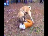 PitBull vs. Kangal