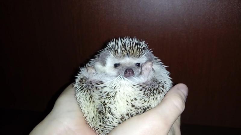 Когда у ёжика Буси плохое настроение - When the hedgehog Busia has a bad mood Ёж Ёжик Смешно Прикол » Freewka.com - Смотреть онлайн в хорощем качестве
