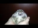 Когда у ёжика Буси плохое настроение - When the hedgehog Busia has a bad mood Ёж Ёжик Смешно Прикол