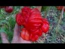 Секреты выращивания перца в открытом грунте От семечки до збора урожая
