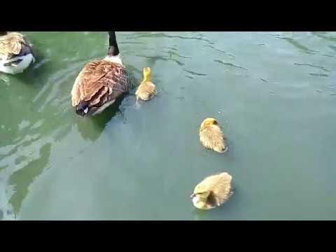 Англия Мои любимые животные Новые гусята на пруду