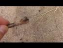 Жук - Крыжовник ? Нет. Это колорадский жук