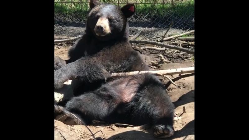 Медведь Джек и его ленивый полдень