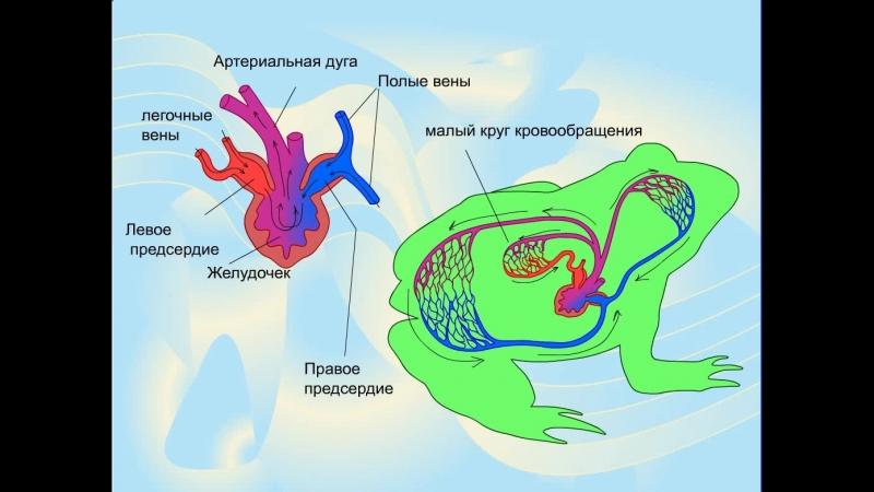 Земноводные. Кровеносная система