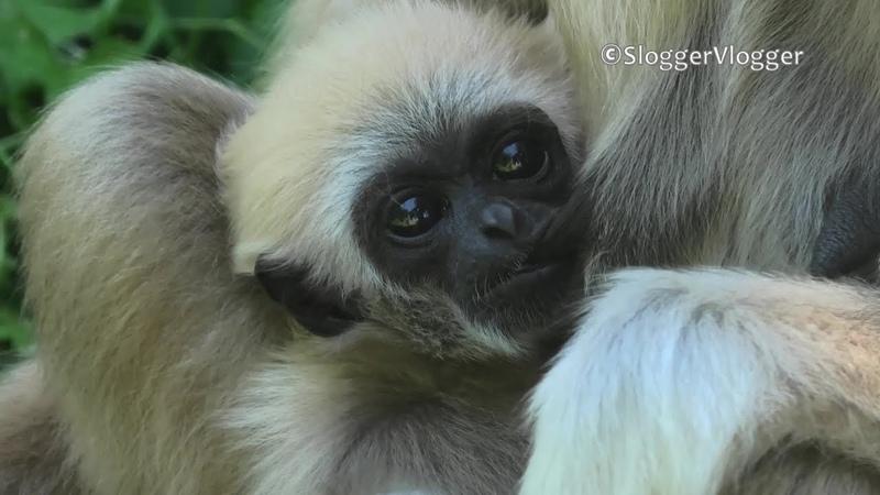 Newborn Gibbon Baby Happy When Mum Comes Back