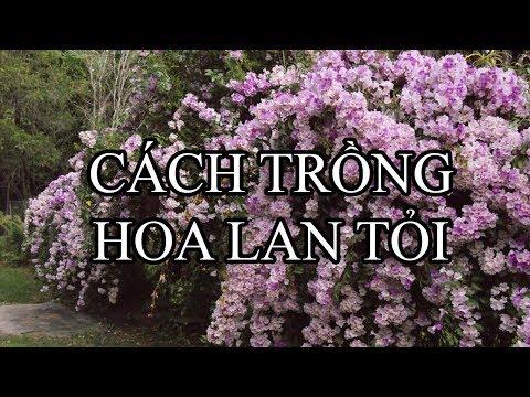 Hướng dẫn trồng và nhân giống hoa lan tỏi (ánh hồng) cực đẹp