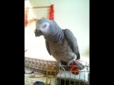 Риччи - смешной говорящий попугай ).MOV